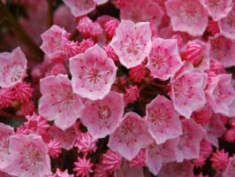 Mountain-Laurel