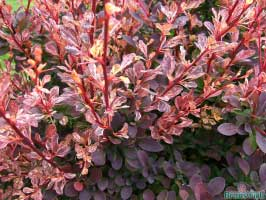 japanese_Barberry