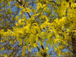 sunburt_honey-locust