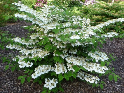 Marie s double file viburnum georamas growers plant of the week