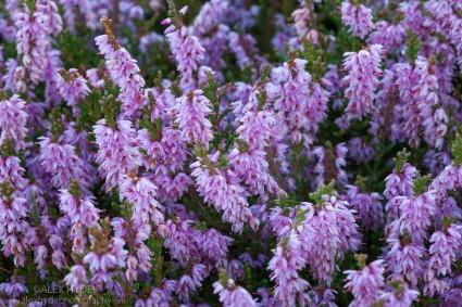 Ling Heather {Calluna vulgaris}