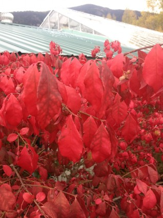 Burning Bush Leaf