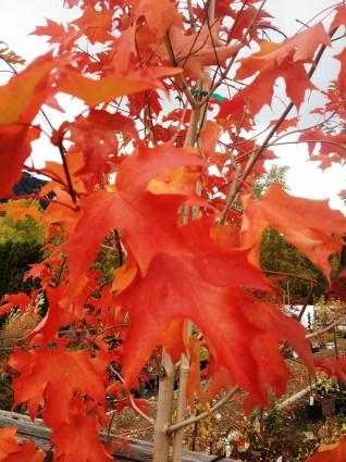 Fall Fiesta Maple Leaf