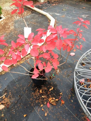 'Grace' Smoke Bush