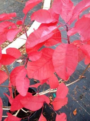 Grace Smokebush leaf