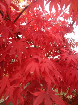'Osakazuki' Japanese Maple Leaves