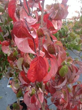 Pink Flowering DogwoodTree Leaves