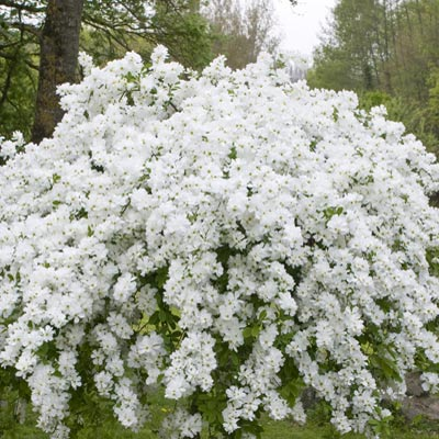 Pearl bush georamas plant of the week georama growers planted in a warm sunny spot the blizzard of pure white flowers of the pearl bush can be a perfect fit for our kootenay gardens mightylinksfo